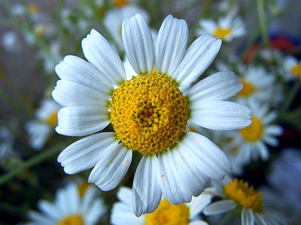 Kamilla - A természet gyógyító ereje!